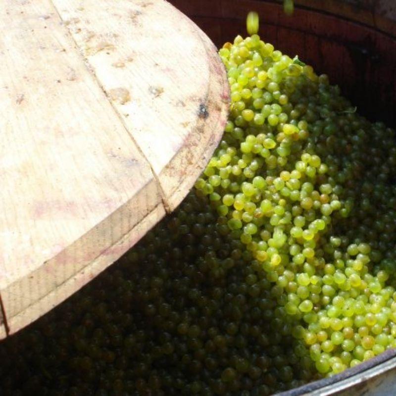 Caliterra Grapes